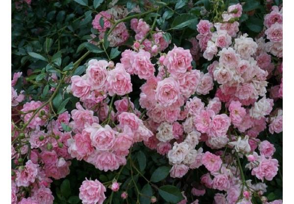 """Роза штамбовая """"Pink Fairy"""""""