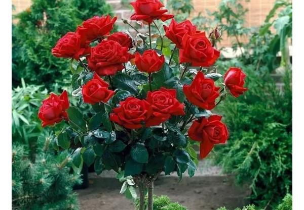"""Роза штамбовая """"Red det"""""""