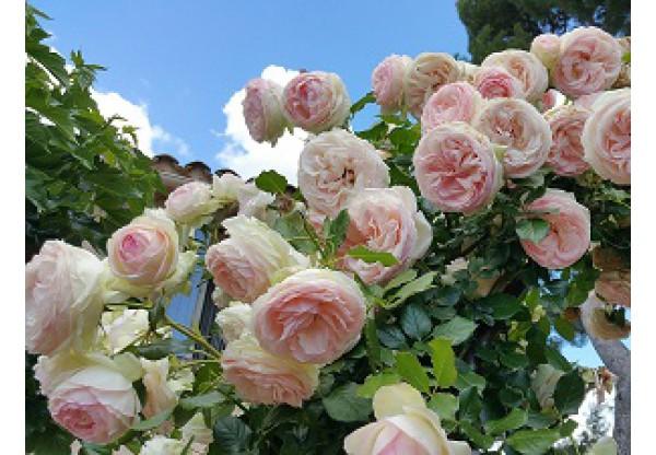 """Роза плетистая """"Pierre de Ronsard"""""""