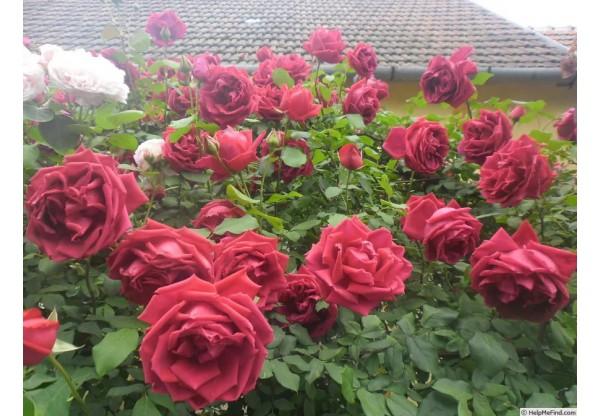 "Роза плетистая ""Grimpant Crimson Glory"""