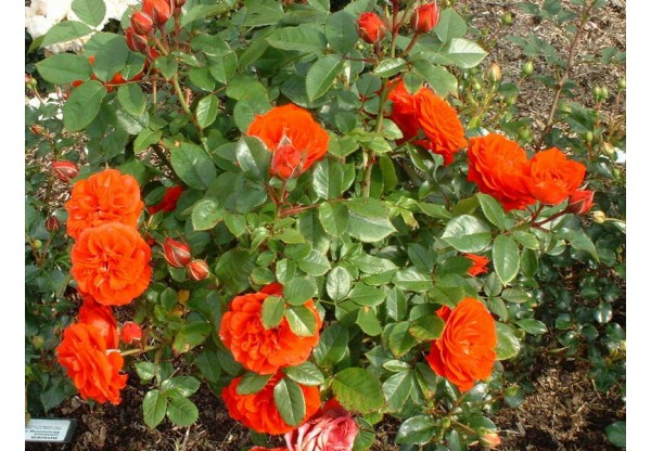 """Роза плетистая """"Grimpant Orange Meillandina"""""""