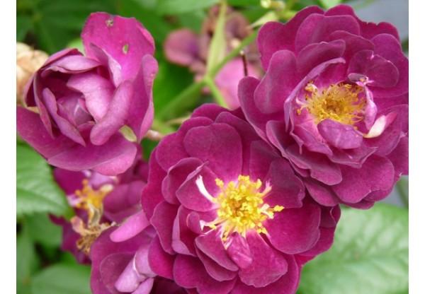 "Роза плетистая ""Perennial Blue"""
