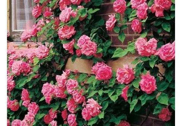 "Роза плетистая ""Tempera"""