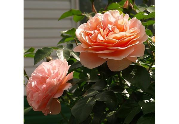 """Роза плетистая """"Barock"""""""