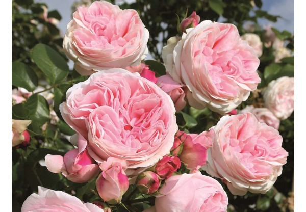 "Роза плетистая ""Giardina"""