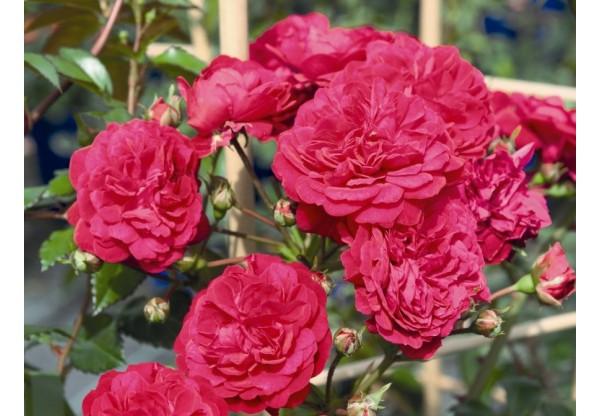 """Роза плетистая """"Starlet Rose Lola"""""""