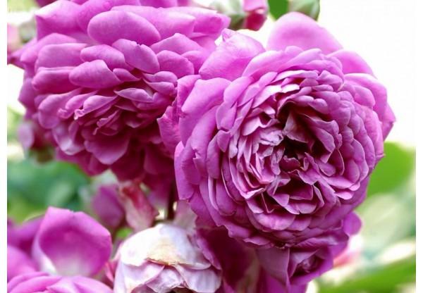 """Роза плетистая """"Starlet Rose Melina"""""""