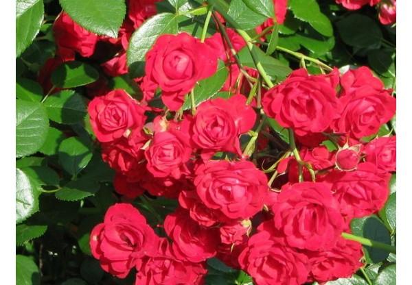 """Роза почвопокровная """"Scarlet Meidiland Décor"""""""