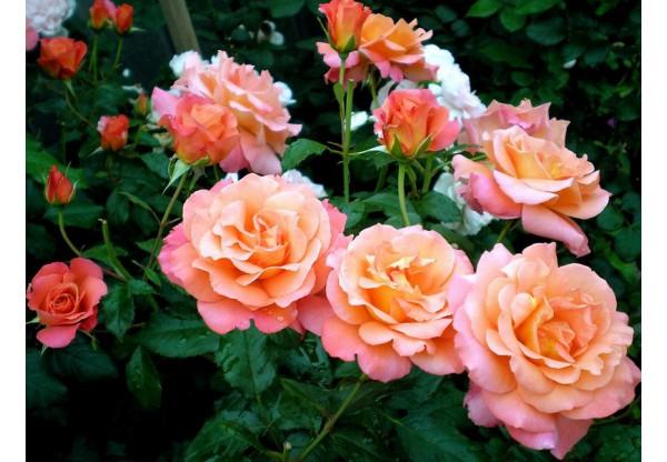 """Роза шраб """"Freisinger Morgenröte"""""""