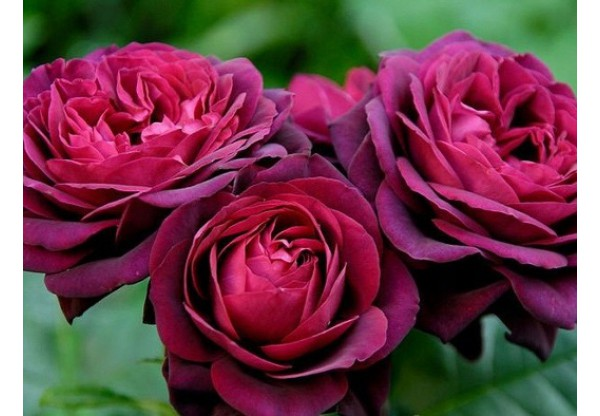 "Роза шраб ""Morello"""