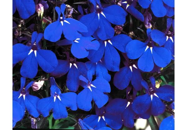 ЛОБЕЛИЯ Riviera Midnight Blue