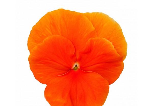ВИОЛА рогатая Viola corn. Cornet Orange