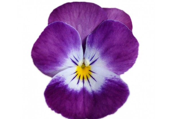 ВИОЛА рогатая Viola corn. Cornet Purple Rose Wing