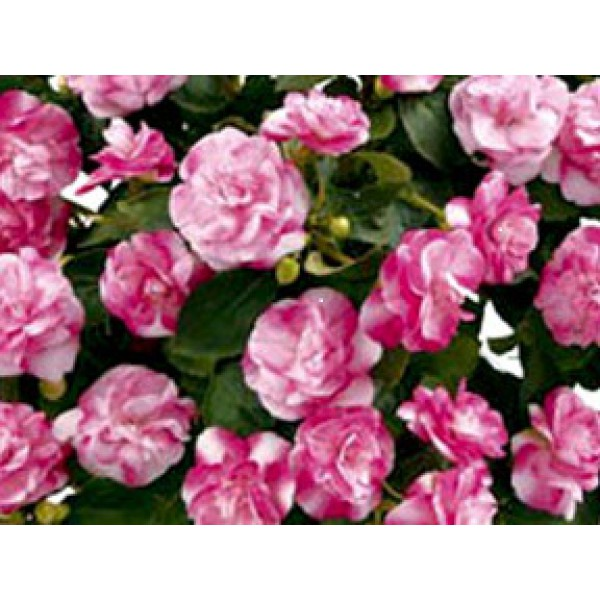 БАЛЬЗАМИН Musica Bicolor Pink