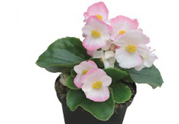 БЕГОНИЯ ВЕЧНОЦВЕТУЩАЯ Begonia semp Highlight Bicolor