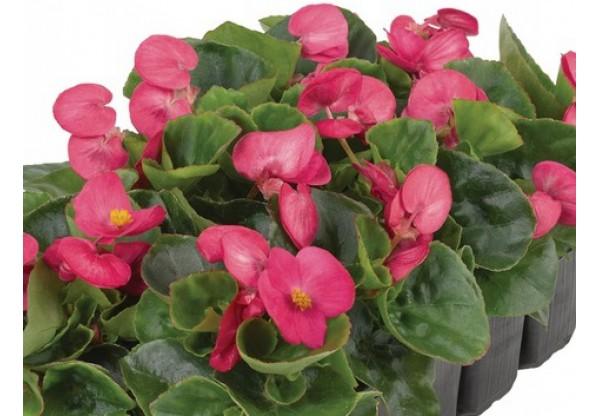 БЕГОНИЯ ВЕЧНОЦВЕТУЩАЯ Begonia semp Premium Pink