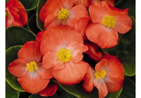 БЕГОНИЯ ВЕЧНОЦВЕТУЩАЯ Begonia semp gr Premium Orange