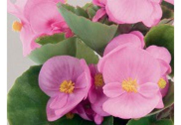 БЕГОНИЯ ВЕЧНОЦВЕТУЩАЯ Begonia semp gr Premium Pink