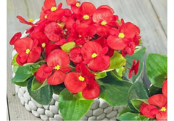 БЕГОНИЯ ВЕЧНОЦВЕТУЩАЯ Begonia semp gr Premium Red