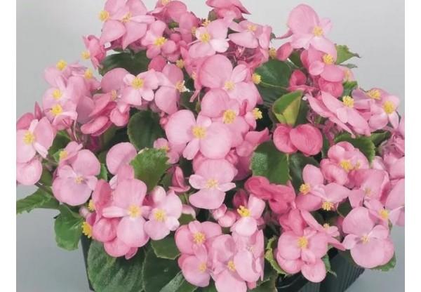 БЕГОНИЯ ВЕЧНОЦВЕТУЩАЯ Begonia semp gr Premium Rose