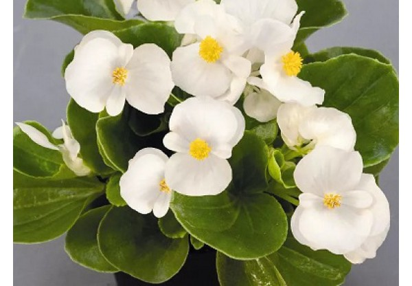 БЕГОНИЯ ВЕЧНОЦВЕТУЩАЯ Begonia semp Premium White