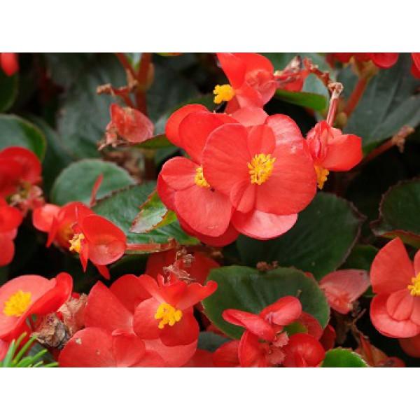 БЕГОНИЯ ВЕЧНОЦВЕТУЩАЯ Begonia semp Highlight Red