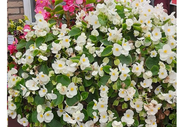БЕГОНИЯ ВЕЧНОЦВЕТУЩАЯ Begonia semp Highlight White