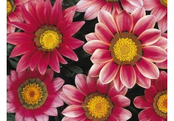 ГАЦАНИЯ New Day Pink Shades