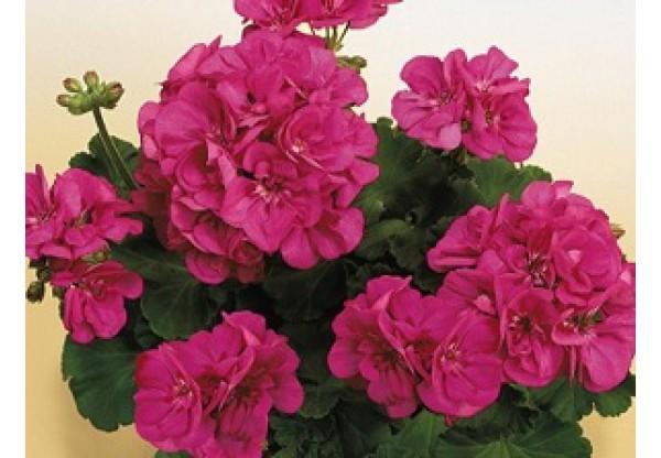 """Пеларгония зональная  """"Toscana Smart Katarina lilac"""""""