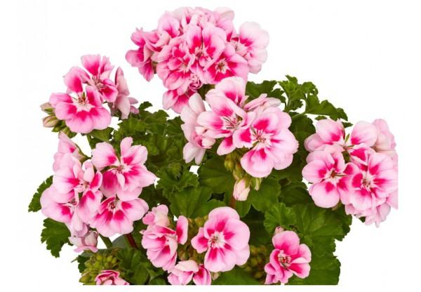 """Пеларгония зональная  """"Toscana Smart Lieke pink eye"""""""
