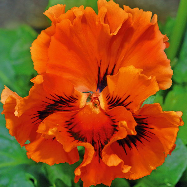ВИОЛА витрокка Frizzle Sizzle Orange