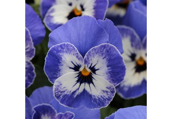 ВИОЛА рогатая Delft Blue