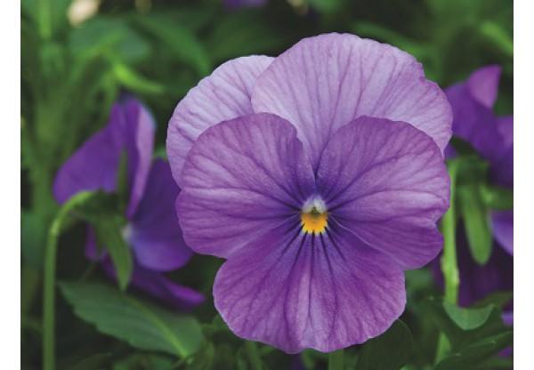 ВИОЛА витрокка Inspire+ Lavender Shades (new)