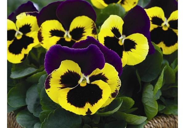 ВИОЛА витрокка Inspire+ Yellow Purple Wing (New)