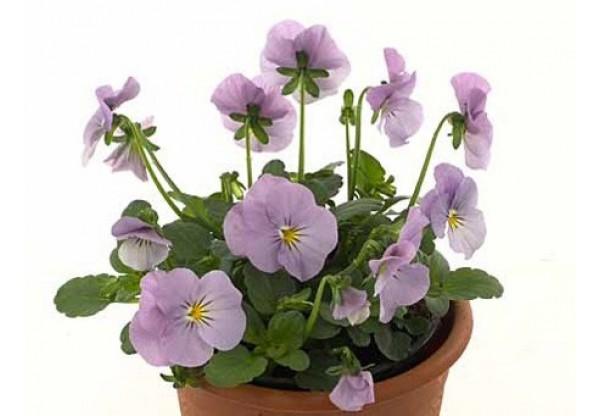 ВИОЛА рогатая Viola corn. Cornet Lavender Pink