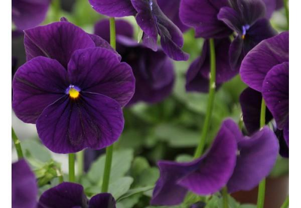 ВИОЛА рогатая  Cornet Purple