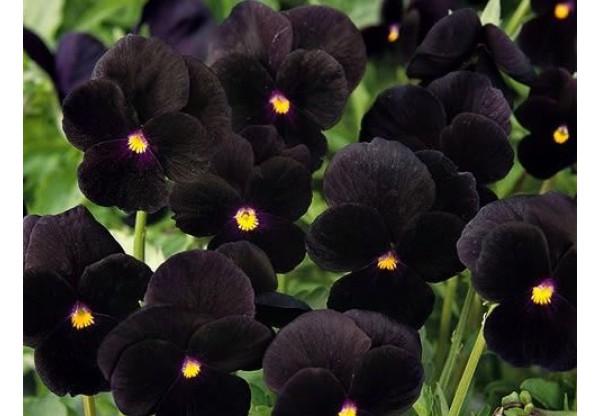 ВИОЛА рогатая Black