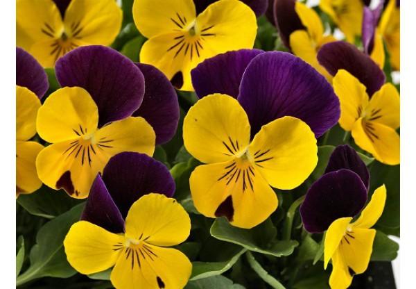 ВИОЛА рогатая Yellow Lilac