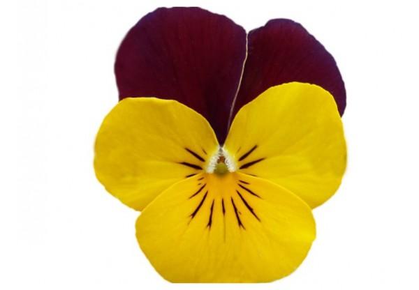 ВИОЛА рогатая Viola corn. Cornet Yellow Red-Wing