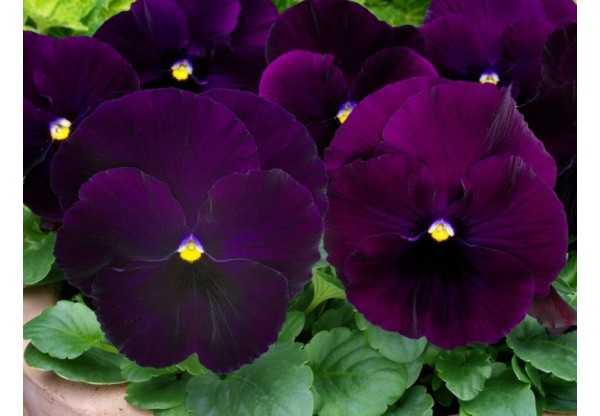 ВИОЛА витрокка Select Purple (new)