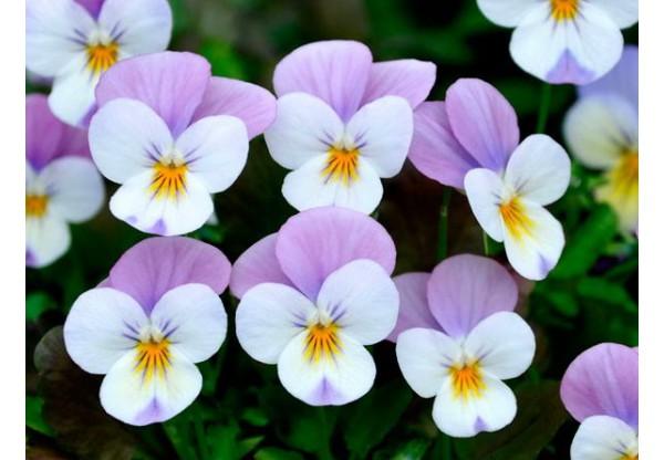 ВИОЛА рогатая  Cornet Persian Pink