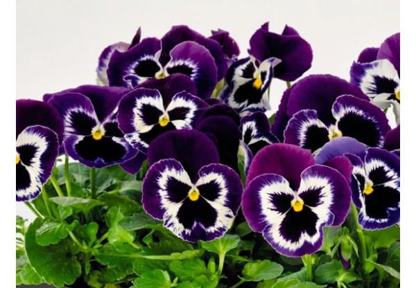ВИОЛА витрокка Violet Face