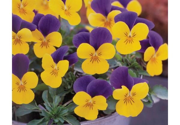 ВИОЛА рогатая Viola corn. Cornet Gold Purple Wing