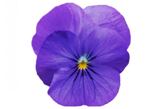 ВИОЛА рогатая Viola corn. Cornet True Blue