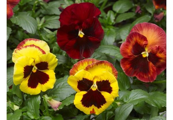 ВИОЛА витрокка Viola wittr. Select Copperfield