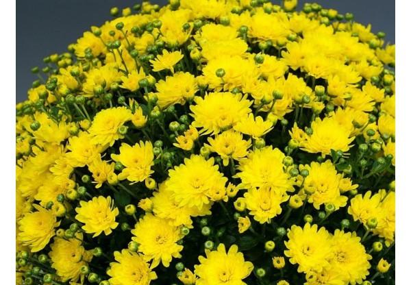 "Хризантема мультифлора ""Branfountain Yellow"""