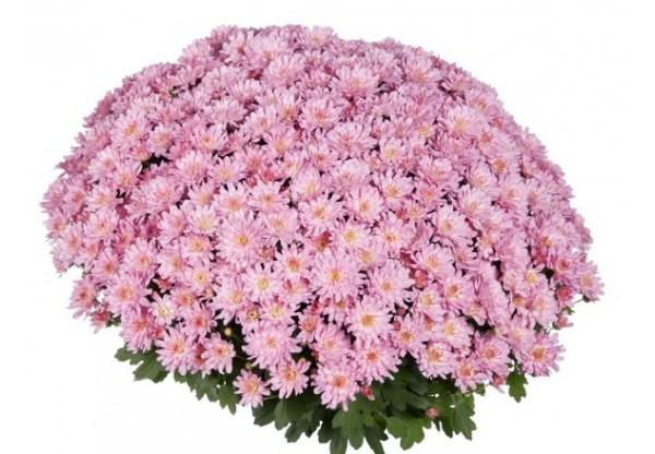 "Хризантема мультифлора ""Flairn Pink"""