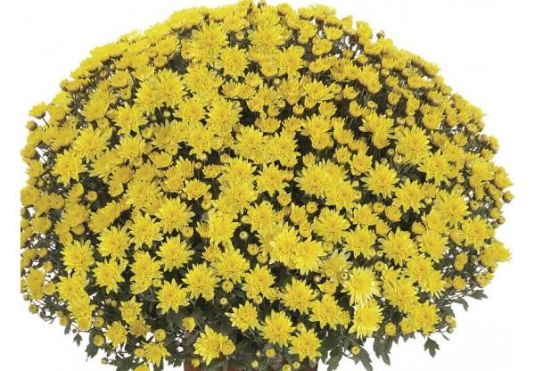 "Хризантема мультифлора ""Pamplona Jogger Yellow"""