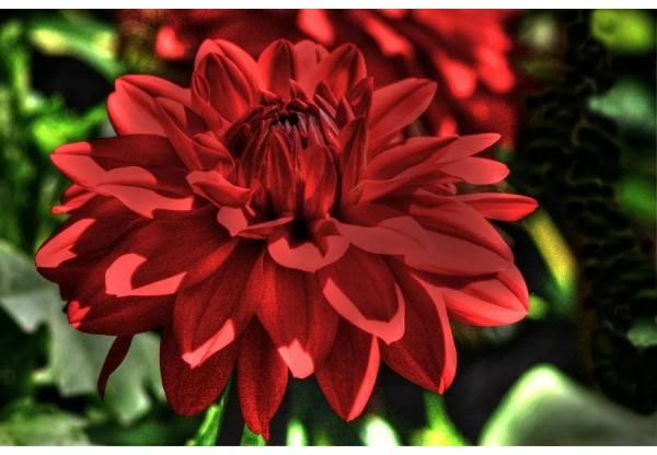 "Георгина ""Garden Wonder"""