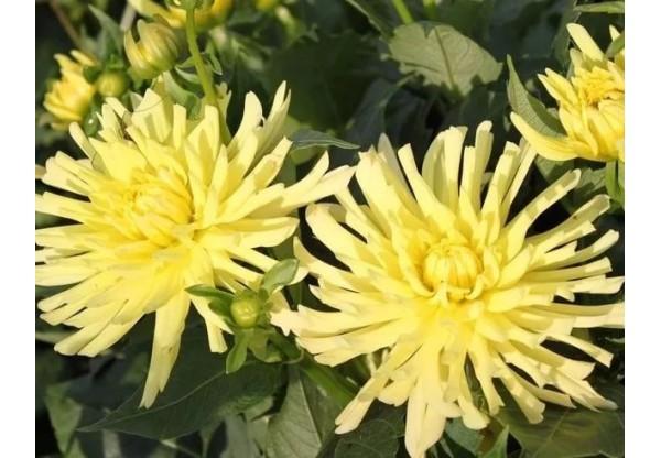 """Георгина """"Yellow HappIness"""""""